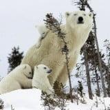 White Bear wallpapers 2014 15
